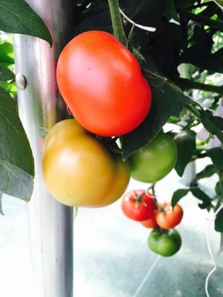 農園トマト2