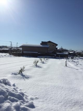 20180123 雪の中頑張るオリーブ達